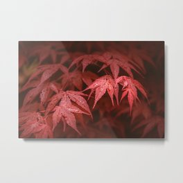 Red leaves of Japanese Red emperor maple (Acer palmatum) after rain Metal Print