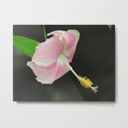 Lavender color hibiscus flower Metal Print