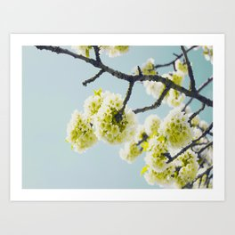 Budding White Blossoms Against A Blue Sky Art Print
