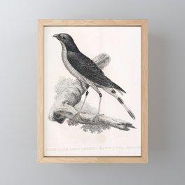 005 Brazilian Long legged Hawk falco wiedii braziliensis Framed Mini Art Print