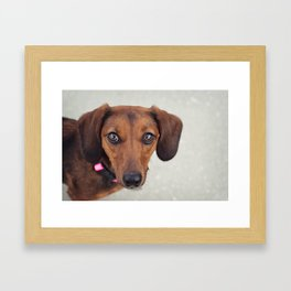 Doxie Dares You  Framed Art Print