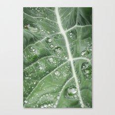 Rain water on a Purple Cauliflower leaf. Norfolk, UK. Canvas Print
