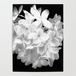 """Hydrangea """"SnowBall"""" In Black And White Poster"""