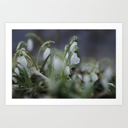 snow drop flowers with ice melting from them Art Print