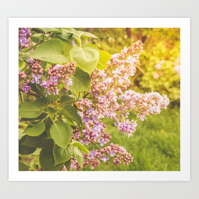 Lilac branch, close-up on a bright sunny day Art Print