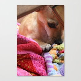 Perro Playing  Canvas Print