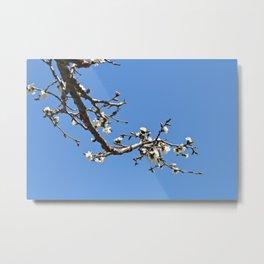 Flowering Cherry Branch Metal Print