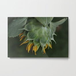 Sunflowers from my Permaculture Food Forest  Metal Print