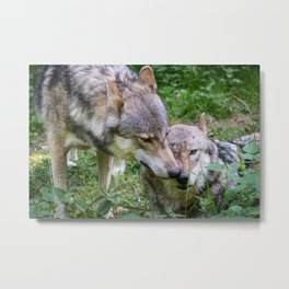 Domestic wolves of Franconian Switzerland Metal Print