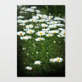 White Daisy Field Canvas Print