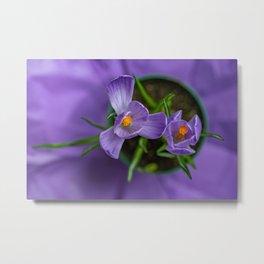 Purple Crocus in a Pot Metal Print