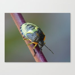 Black and yellow beetle Canvas Print