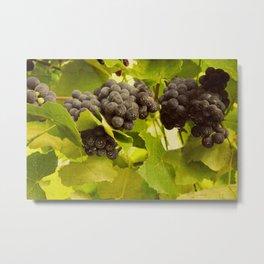 grapes and vines Metal Print