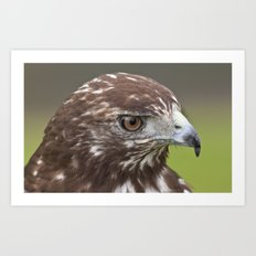Red-tailed Hawk Portrait Art Print