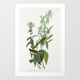 Green Black-Capt Flycatcher from Birds of America (1827) by John James Audubon etched by William Hom Art Print