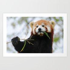 Red Panda 3 Art Print