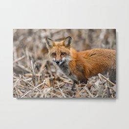 Red Foxy Fox Metal Print