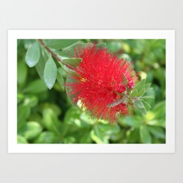 Beautiful Bottle Brush Flower With Garden Background Art Print