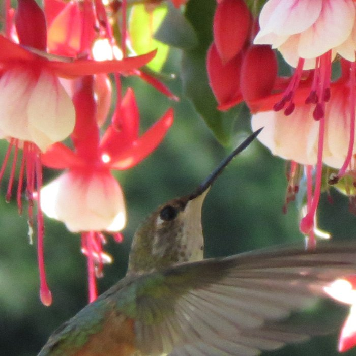Humming Bird No. 1  Leggings