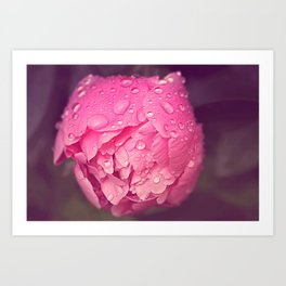 Peony in the rain Art Print