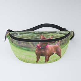 Outdoor portrait of a red miniature pinscher dog standing on the grass Fanny Pack