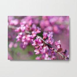 Blooming Eastern redbud blossoms Metal Print