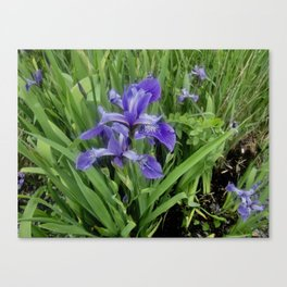 Wild Purple Iris Canvas Print