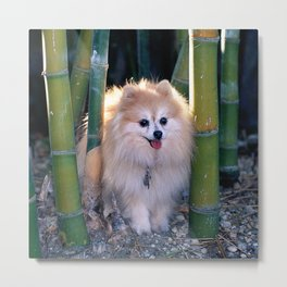 Buffy, the Celebrity Pomeranian, in Bamboo Forest Metal Print