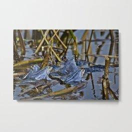 Blue Frogs 11 - Rana arvalis Metal Print