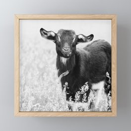 Baby goat chewing on grass Framed Mini Art Print