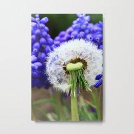 Dandelion Grape hyacinths 2 Metal Print