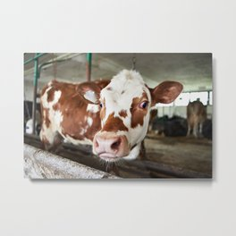 Calf in stalls at farm Metal Print