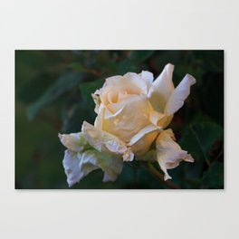 Sunlight On The Yellow Rose Canvas Print