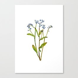 Forget-me-not flowers watercolor art Canvas Print
