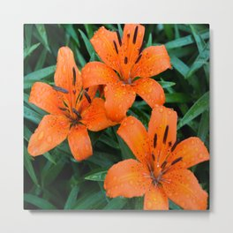 Wet Orange Tiger Lily Metal Print