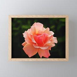 Pink Rose Blooming Framed Mini Art Print