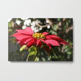 Red Poinsettia Christmas Flower Metal Print