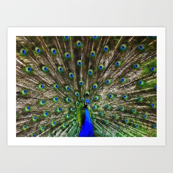 Peacock Flaunting  Art Print