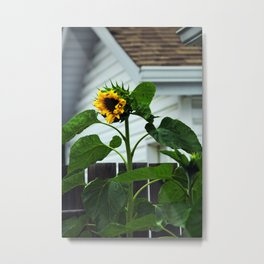 Looking Like a Sunflower Metal Print