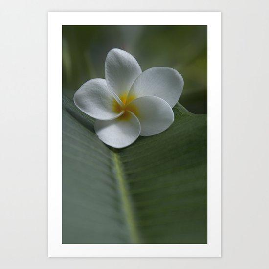 He Aloha no O Waianapanapa - White Tropical Plumeria - Hawaii Art Print