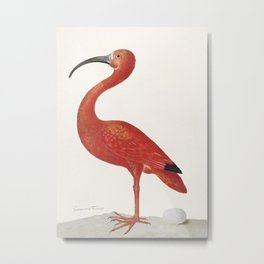 Scarlet Ibis with an Egg (1699–1700) by Maria Sibylla Merian. Metal Print