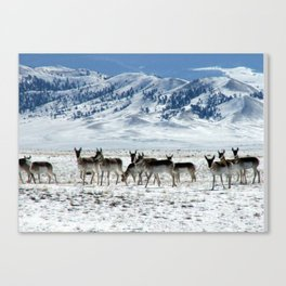 Pronghorns in the Basin Canvas Print