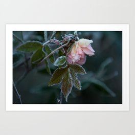 Frost Covered Rose  Art Print