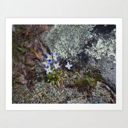 Thyme Leaved Bluets #2 Art Print