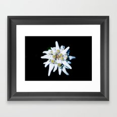 Single isolated Edelweiss flower bloom Framed Art Print