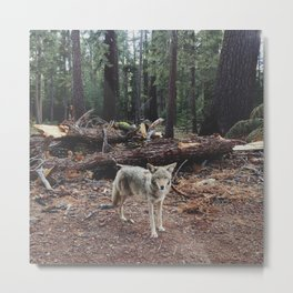 Injured Coyote Metal Print