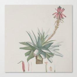 Vintage succulent aloe cactus agave antique botanical desert print boho tribal chic Canvas Print