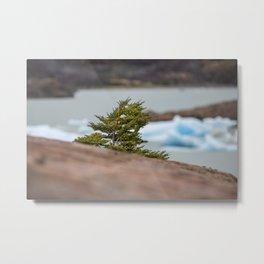 Patagonian Tree Metal Print