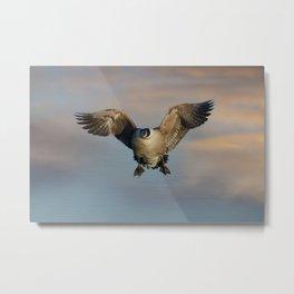 Flying Canada Goose Metal Print