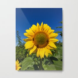 3 Bees on a Sunflower Metal Print